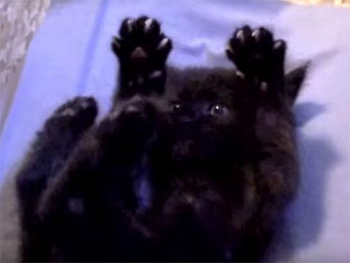 バンザイ姿が可愛すぎる黒猫の子猫♪