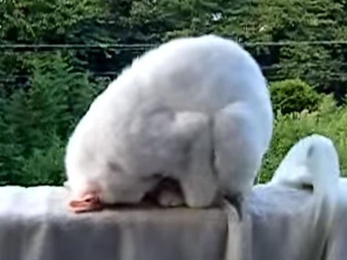 「元祖! ごめん寝」 白猫がベランダのフェンスで、土下座しながら寝ています!  寝ぼけて落ちないでニャ!