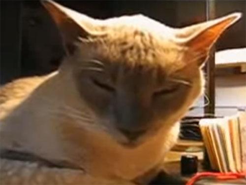 寝落ち猫の爆笑動画! アビシニアンの猫が一瞬で「コテッ」