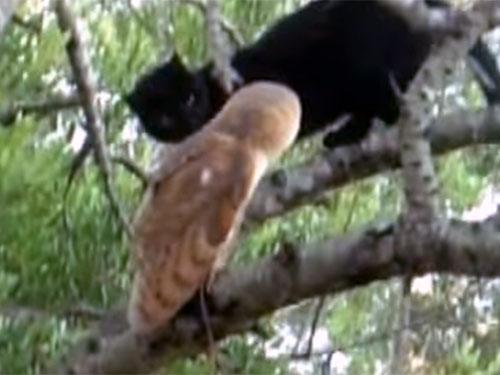 仲の良い黒猫とメンフクロウ2