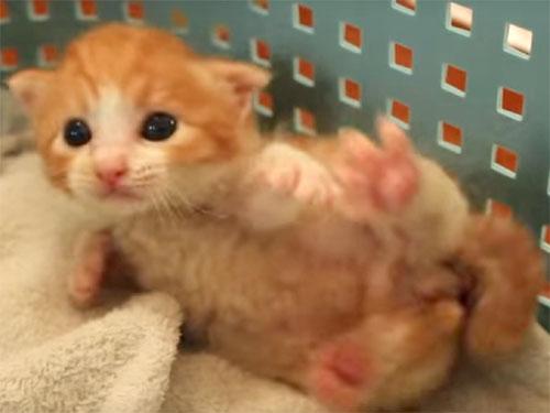寝返りをした子猫が、「あっ、おしっこが出ちゃったにゃ!」