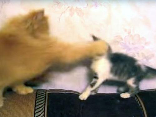 先制攻撃される子猫