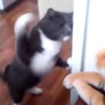 世界チャンピオン級の猫パンチ! 相手はトラのぬいぐるみ