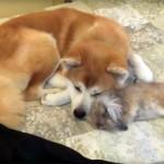 遊び疲れたウサギが、秋田犬と仲良く添い寝♪