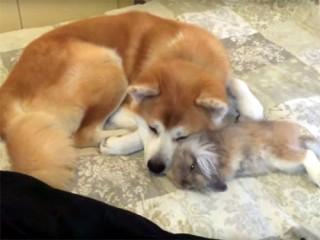 可愛い♪ 秋田犬とウサギの仲良しおネンネ