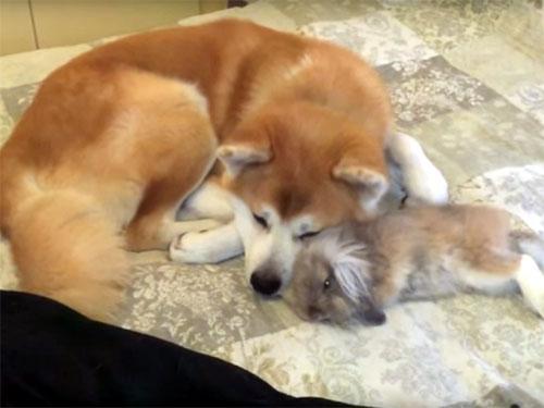 ウサギと秋田犬が仲良く添い寝