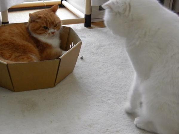 猫パンチの前に、睨む白猫