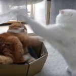 猫パンチは突然に! 普段はおっとりしていても怒ると怖い!