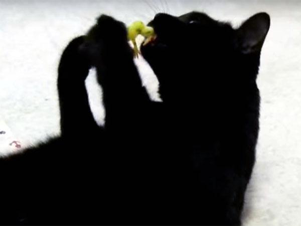 猫じゃらしで遊ぶ黒猫