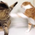 とにかく長~い猫パンチ合戦! 終わりそうで終わらないニャ~