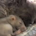 猫が大好きなネズミ♪ まるで親子のように仲良しです!