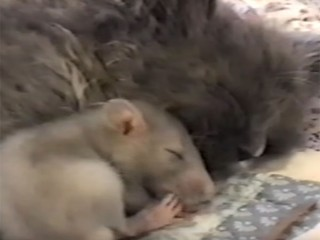 猫が大好きなネズミ! まるで親子のように仲良しです♪