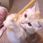 マンチカンの子猫、猫パンチ連打! 立ち姿が可愛すぎる!