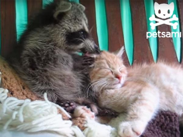 アライグマが猫の顔をゴシゴシ洗う1