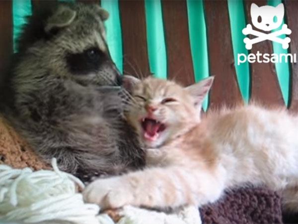 アライグマが猫の顔をゴシゴシ洗う2