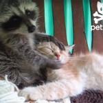 猫がアライグマに顔をゴシゴシ洗われちゃってます