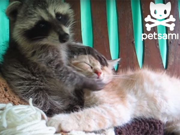 アライグマが猫の顔をゴシゴシ洗う3
