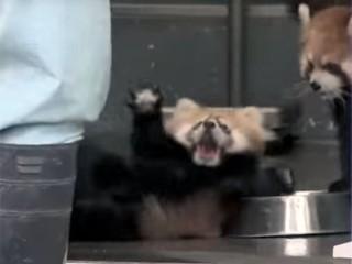 レッサーパンダの赤ちゃんが、びっくり仰天してひっくり返る!