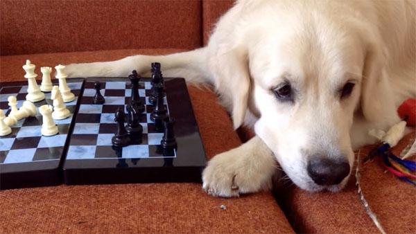 猫 VS 犬、チェスで勝負3