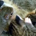 リスの赤ちゃん、猫のお乳を飲む♪ 拒否しない優しい母猫
