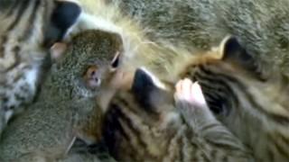 あれ、子猫に混じって、変な子が母猫のお乳を飲んでいるよ?