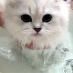 長毛がゴージャスなペルシャ猫のシャンプータイム♪