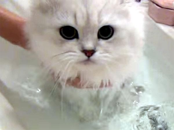 毛のゴージャスなペルシャ猫のシャンプータイム♪