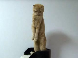 スコティッシュフォールドのきなこちゃん、立ったまま背伸びが可愛い♪