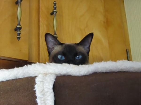 青い目のシャム猫1