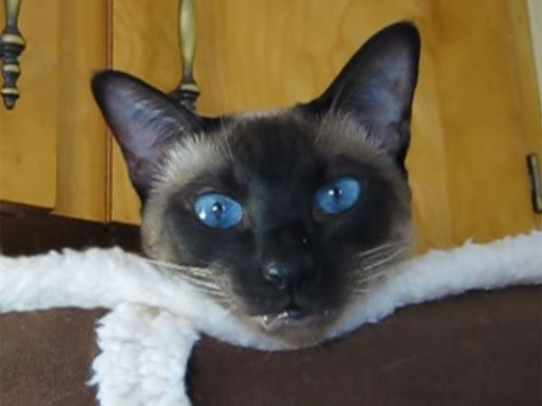 青い目のシャム猫2