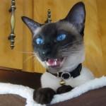 青い目のシャム猫、甘えた鳴き声でお返事♪