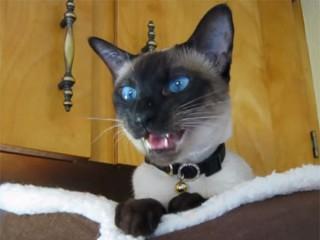 シャム猫おもしろ動画、とっても大きな鳴き声でお返事♪