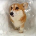 雪のトンネルで遊ぶコーギー犬 「楽しいわん♪」