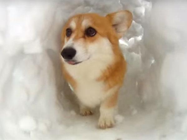雪のトンネルで遊ぶコーギー犬1