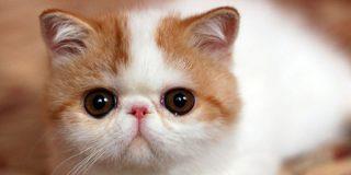 エキゾチックショートヘアの親子の動画♪ 母猫と赤ちゃん猫の鳴き声が可愛い!