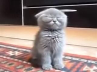 ブリティッシュショートヘアの子猫動画、とにかく眠そう♪