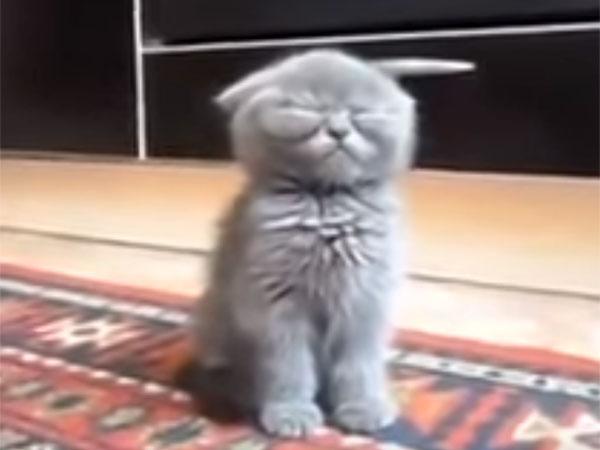 眠そうなブリティッシュショートヘアの子猫1