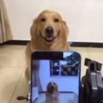 笑う犬の動画♪ 「はい、チーズ」で、にっと笑うゴールデンレトリバー