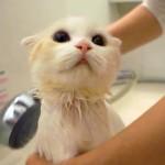 スコティッシュフォールドの子猫、シャワーが大好きニャ!