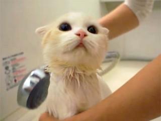 シャワーが大好きなスコティッシュフォールドの子猫♪