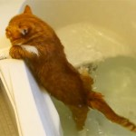 マンチカンの猫、バスタブにドボン! 可哀想だけど笑ってしまう猫動画