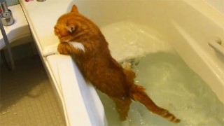 マンチカンの猫が水にドボン! 可哀想だけど笑ってしまう猫動画♪