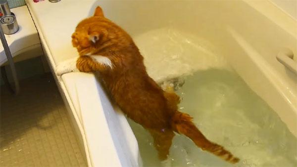 マンチカンの猫が水にドボン! 可哀想だけど笑ってしまう猫動画