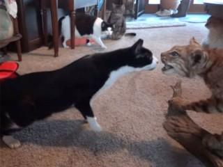 アカオオヤマネコのリアルな剥製に、猫たちの反応は?