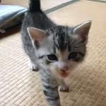 ニャーニャー鳴きながら付いてくるマンチカンの子猫が可愛い♪