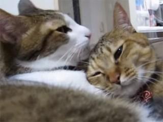 お耳の中までペロペロと毛づくろいする猫「くすぐったいにゃ~」
