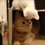 ダンボール箱の争奪戦! 子猫たちが箱を取り返しにやって来た!