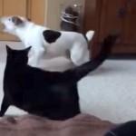 「喧嘩はダメにゃ!」と、黒猫が犬たちの争いを止める!