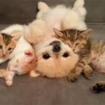 ポメラニアンが、子猫たちと仲良く添い寝♪ へそ天が可愛い!