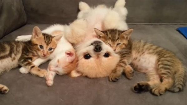可愛いポメラニアン♪ 子猫と仲良くおねんね